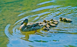 Mallard Duck with her Ducklings. Mallard Mother Duck with her Ducklings on a lake Royalty Free Stock Images