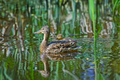 Mallard Duck with her Ducklings. Mallard Mother Duck with her Ducklings on a lake Royalty Free Stock Image