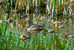 Mallard Duck with her Ducklings. Mallard Mother Duck with her Ducklings on a lake Stock Photos