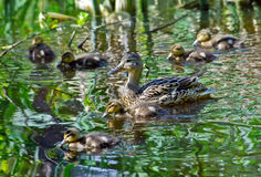 Mallard Duck with her Ducklings. Mallard Mother Duck with her Ducklings on a lake Stock Photo