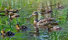 Mallard Duck with her Ducklings. Mallard Mother Duck with her Ducklings on a lake Stock Images