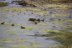 A mallard duck and her ducklings. Searching for food amongst the weeds and algae of a pond stock photo