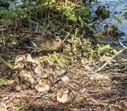 Mallard duck with her eleven ducklings lakeside in the sun. Eleven baby ducklings laying next to their mother on the side of a lake in the brush in the sunshine stock images