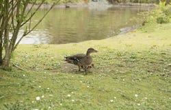 Mallard duck with her goslings. Female mallard duck with her goslings Stock Photography