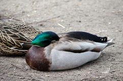 Mallard duck hiding his head. A colorful mallard duck hides his head under his wing as he sleeps Royalty Free Stock Photography