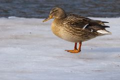 Mallard Duck on ice Royalty Free Stock Photography