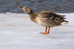 Mallard Duck on ice Stock Photography