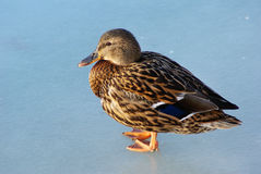 Mallard duck on ice Royalty Free Stock Photo
