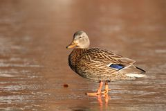 Mallard Duck on the Ice. A female mallard duck Anas platyrhynchos standing on the ice of a frozen pond on a cold day in winter Royalty Free Stock Photos