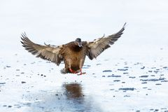 Mallard duck on ice. Landing at BC Canada Royalty Free Stock Photos