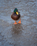 Mallard duck on ice in winter. Wild duck walking on ice in winter Royalty Free Stock Photos