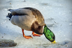 Mallard duck on the ice Royalty Free Stock Photography