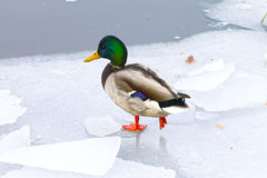 Mallard duck on ice, winter Stock Photos