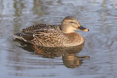 A mallard duck in icy water. A female mallard duck swimming on the icy water on the Cemetery Lake on Southampton Common, Hampshire, UK Stock Images
