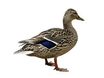 Mallard duck isolated Royalty Free Stock Images