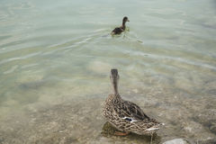 Mallard duck and its baby swimming on lake. A mallard duck and baby duck swimming on lake Stock Image