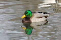 Mallard duck. Stock Photos