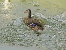 Mallard Duck jumping into water Stock Photos