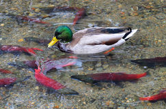 Mallard Duck and Kokanee Salmon Royalty Free Stock Photography