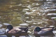 Mallard duck. /  lake Stock Photography