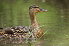 Mallard duck. At a lake Stock Image