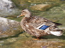 Mallard duck on lake,  Anas platyrhynchos. Wildlife Royalty Free Stock Photo