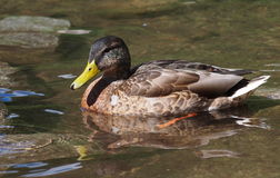 Mallard duck on lake,  Anas platyrhynchos Royalty Free Stock Photos