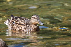 Mallard duck on lake,  Anas platyrhynchos Stock Photo