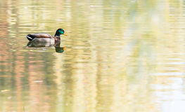Mallard duck on the lake Stock Photography