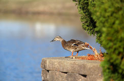 Mallard duck by the lake Stock Images