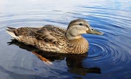 Mallard duck on a lake. Beautiful mallard duck on a lake, Anas platyrhyncos Royalty Free Stock Photography