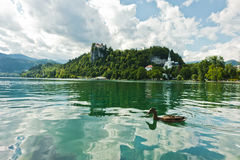 Mallard duck on a lake Bled with castle on a hill in background, slovenian Alps. Slovenia Royalty Free Stock Photography