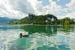 Mallard duck on a lake Bled with castle on a hill in background, slovenian Alps. Slovenia Stock Photos