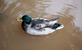 Mallard duck on the lake after the flood with copy space Royalty Free Stock Images