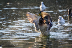 Mallard duck on the lake. Mallards occur throughout North America and Eurasia in ponds and parks as well as wilder wetlands and estuaries stock images