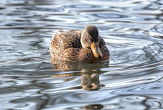Mallard duck on the lake. Mallards occur throughout North America and Eurasia in ponds and parks as well as wilder wetlands and estuaries Stock Image