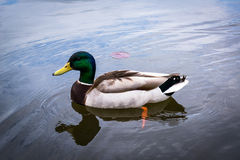 Mallard duck in the lake, at Patterson Park, Baltimore, Maryland.  Royalty Free Stock Photo