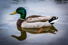 Mallard duck in the lake, at Patterson Park, Baltimore, Maryland.  Stock Photography