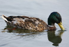 Mallard duck on lake Stock Images