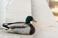 Mallard Duck beside of lake Stock Photo