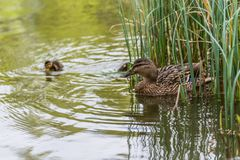 Duckling and Mother stock images