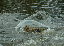 Mallard or duck on the lake, spray of water covered it. Wild nature stock image