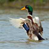 Mallard duck on the lake Stock Images