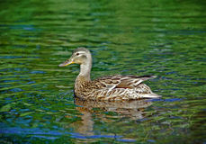 Mallard Duck on a lake Royalty Free Stock Photography