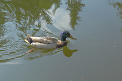 Mallard duck on the lake Stock Image