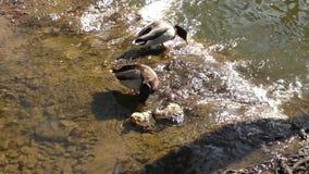 Mallard duck on the lake. Two mallard ducks swimming in calm water stock video