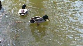 Mallard duck on the lake. Two mallard ducks swimming in calm water stock video footage