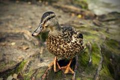 Mallard duck. On the lakeshore Stock Image