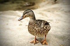 Mallard duck. On the lakeshore Stock Photography