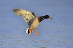 Mallard duck landing Stock Photos